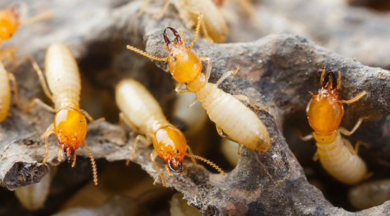 Termites Destroyed timber in Brisbane